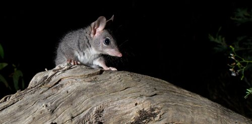DIY habitat: my photos show chainsaw-carved tree hollows make perfect new homes for this mysterious marsupial