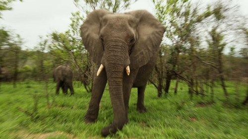 Elephant Takes Revenge, Kills Suspected Poacher in South African National Park