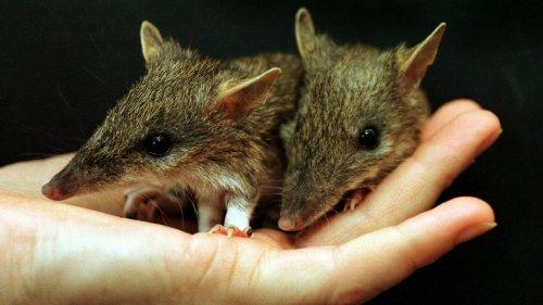 Aussie Bandicoot Rescued From Brink of Extinction