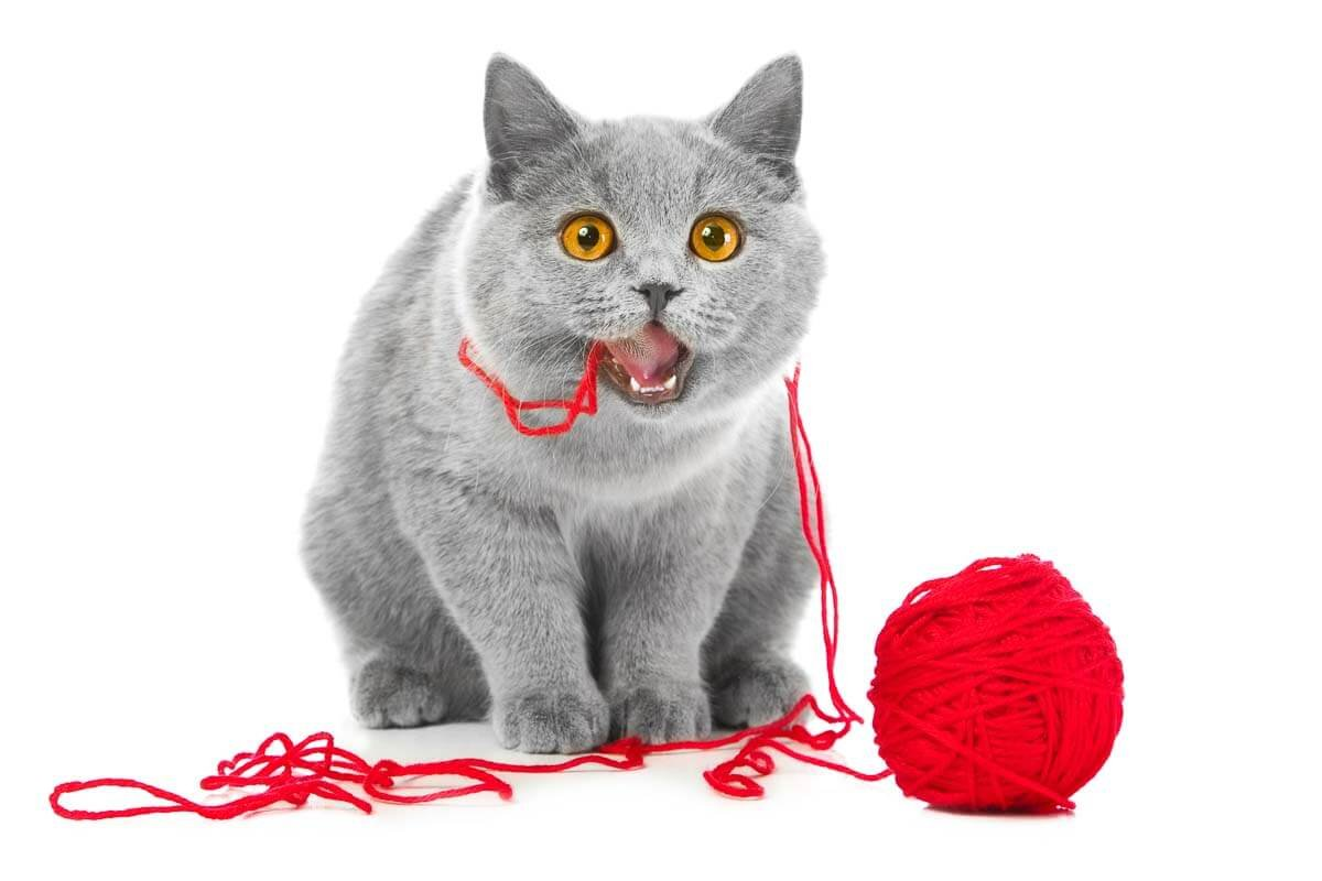 British Shorthair Cats: Which Color Should You Choose?