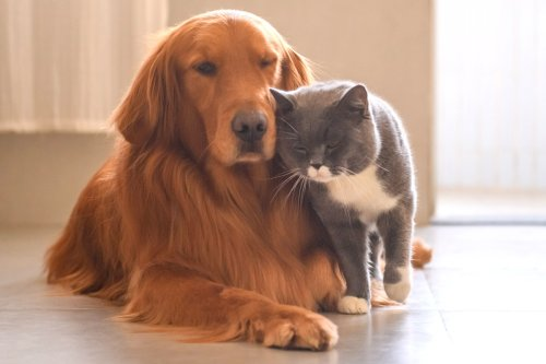 Golden Retrievers and Cats   11 Things You Need to Know