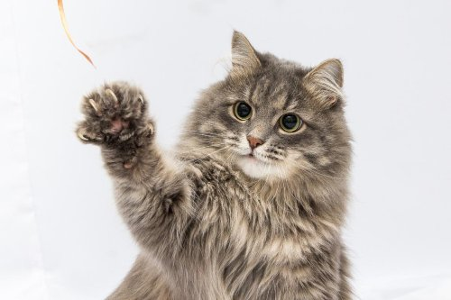Why Do Cats Bite Their Nails? 9 Reasons