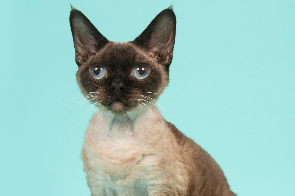 15 Big Eyed Cat Breeds you'll fall for