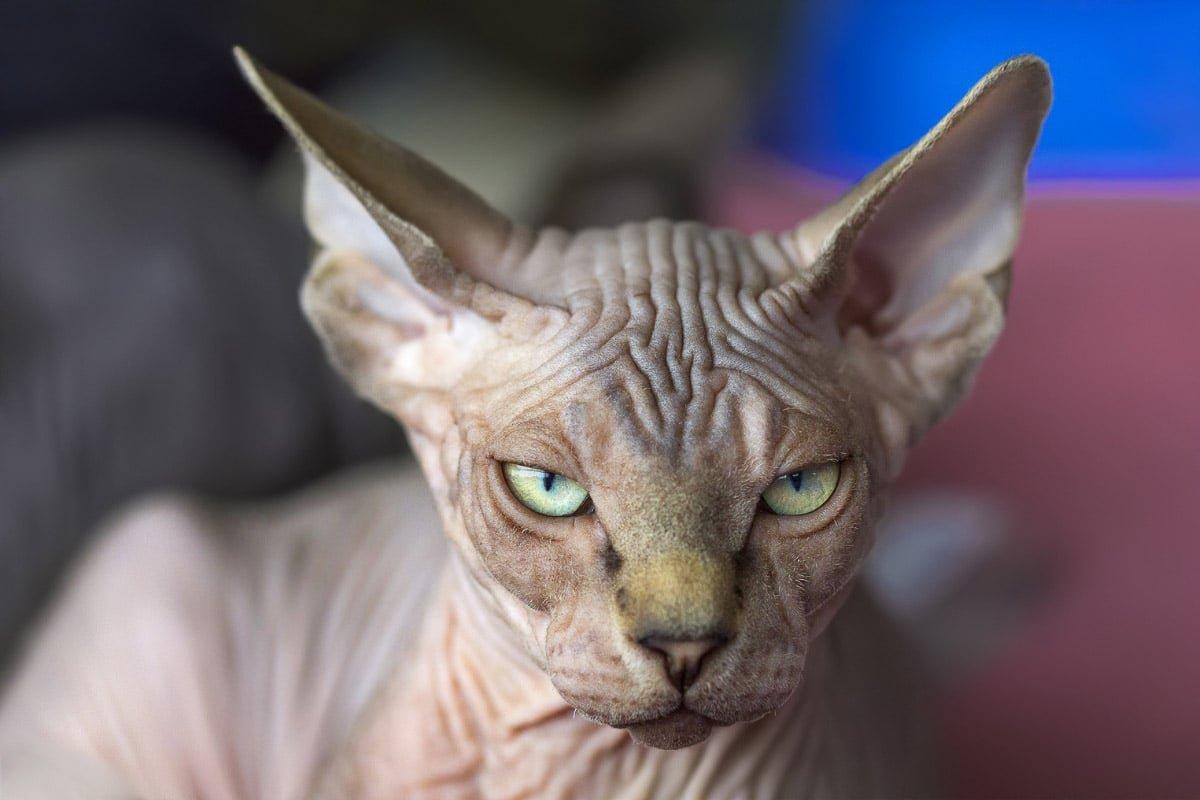 16 Weird Cat Breeds You'll Still Love