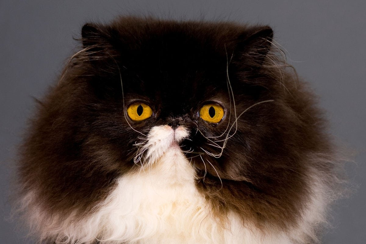 11 Terrific Tuxedo Cat Breeds: Is What they Say True?