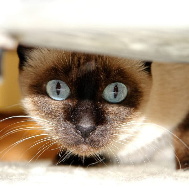 10 Types of Siamese Cats – Which is Best for You?