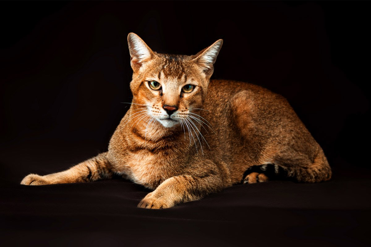 16 Largest Breeds of Cat You'll Adore - cover