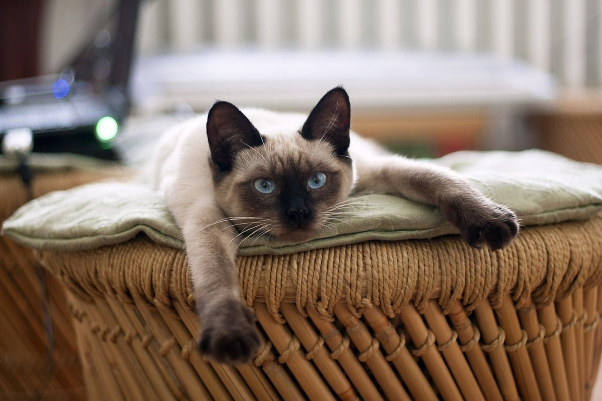 11 Indoor Cat Breeds You'll Want to Take Home