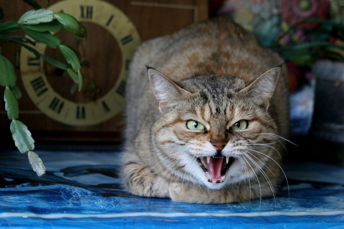 Why Do Cats Growl? 7 Reasons You Should Know