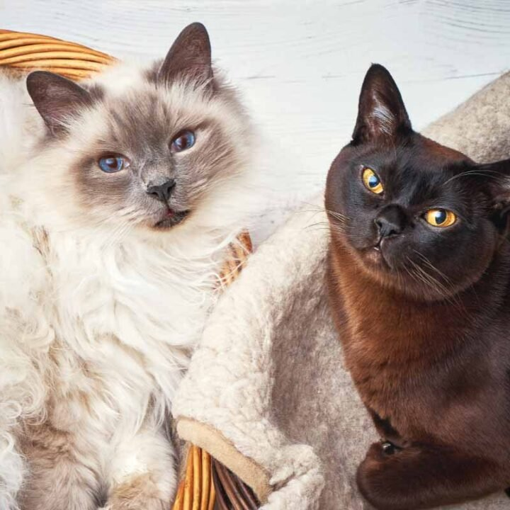 17 Cat Breeds That Don't Shed or Shed Less