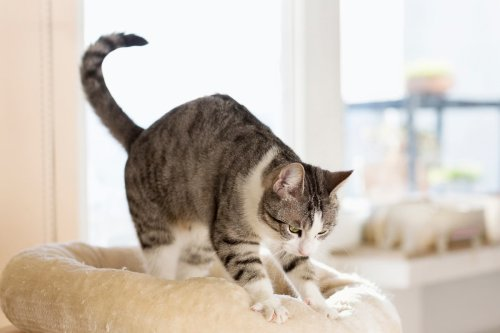 8 Reasons Cats Like to Knead Their Owners