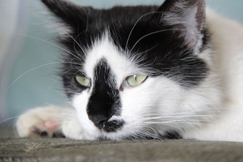 9 Best Tuxedo Cat Names You'll Adore