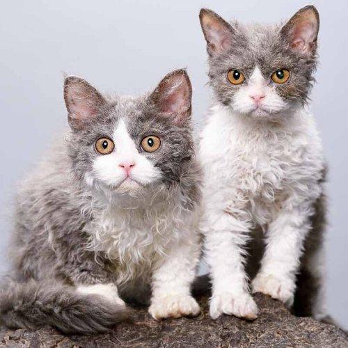 17 Unique Cat Breeds You Won't Forget
