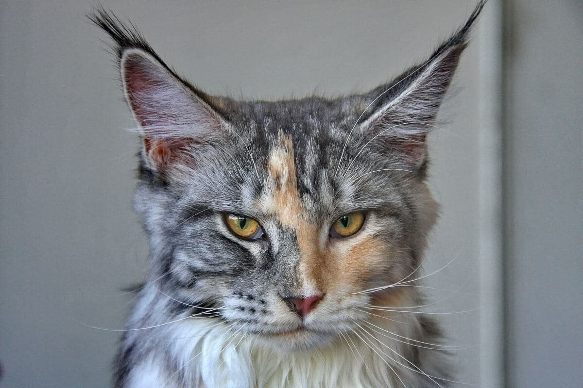 Maine Coon vs Normal Cat: What you Need to Know