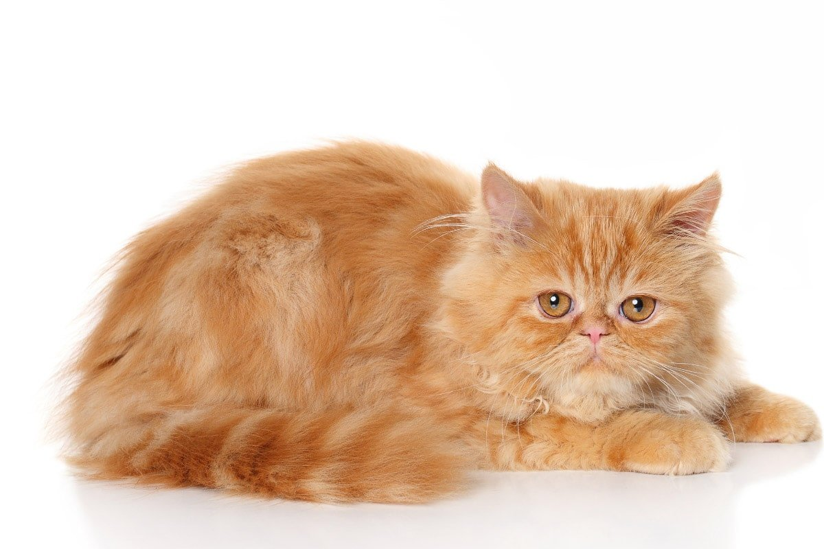 8 Garfield Cat Breeds that love Lasagna