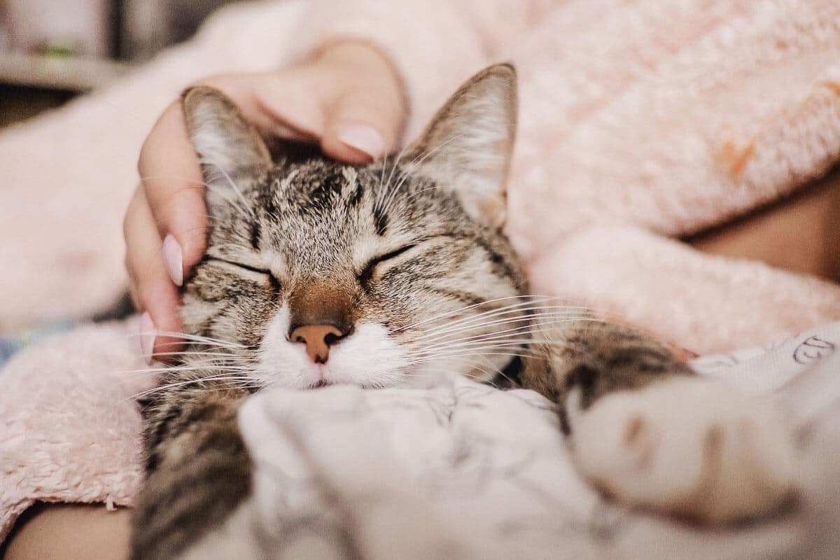 Why Do Cats Purr When You Stroke Them? 6 Reasons You Need to Know