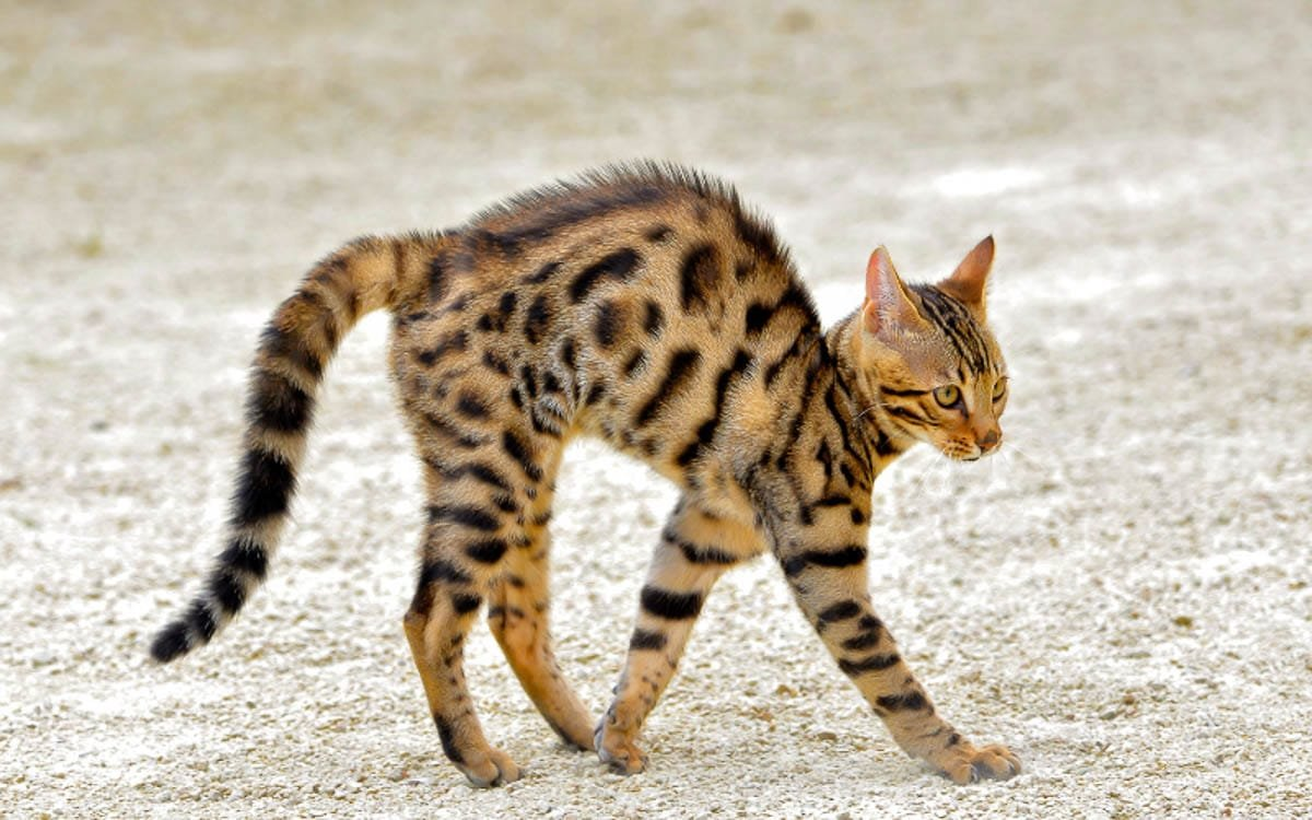 Why Do Cats Arch Their Back? 5 Reasons You Should Know