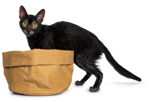 Lykoi Cat – 13 Things to Know About The Werewolf Cat
