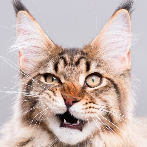15 Most Popular Maine Coon Colors & Patterns