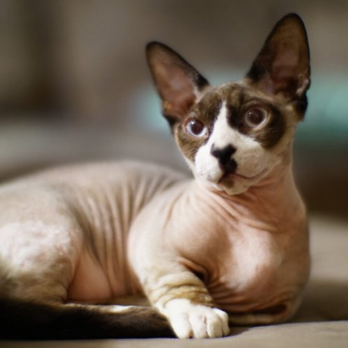 Bambino Cat Breed: 13 Things to Know