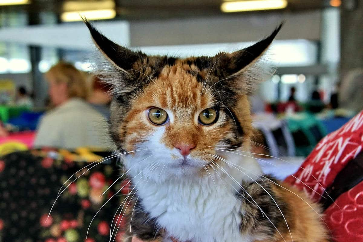 Maine Coon Personality: 13+ Things You Need to Know