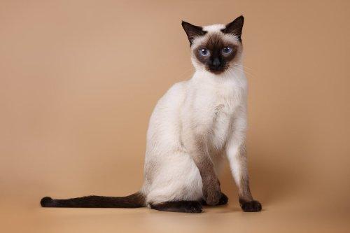 12 Sensational Siamese Cat Names