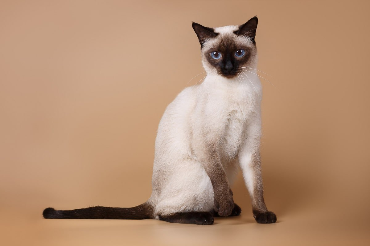 12 Sensational Siamese Cat Names you'll Love