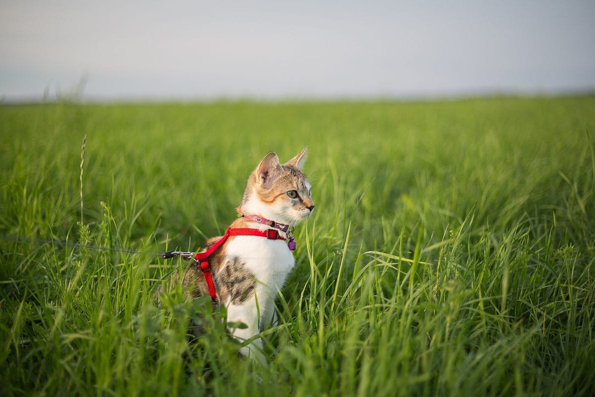 Is Cat Walking Possible? Tips, Advice, Best Harness & Leash