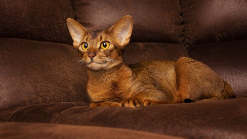 8 Small Cat Breeds that Stay Small
