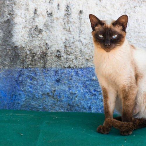 13 Most Popular Siamese Cat Colors