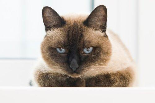 Ultimate Siamese Cat Personality Profile