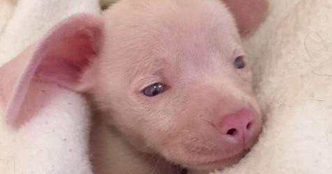 The Heartwarming Story of Piglet, the Blind and Deaf Puppy