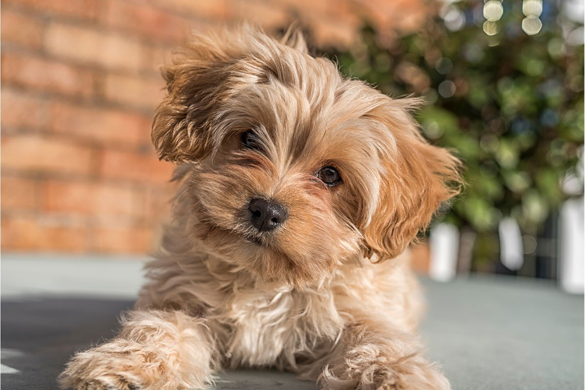Cavapoochon: 7 Things You Need to Know