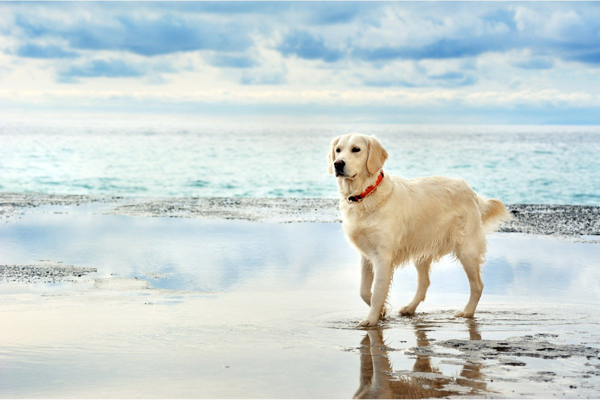 19 White Big Fluffy Dog Breeds You'll Love