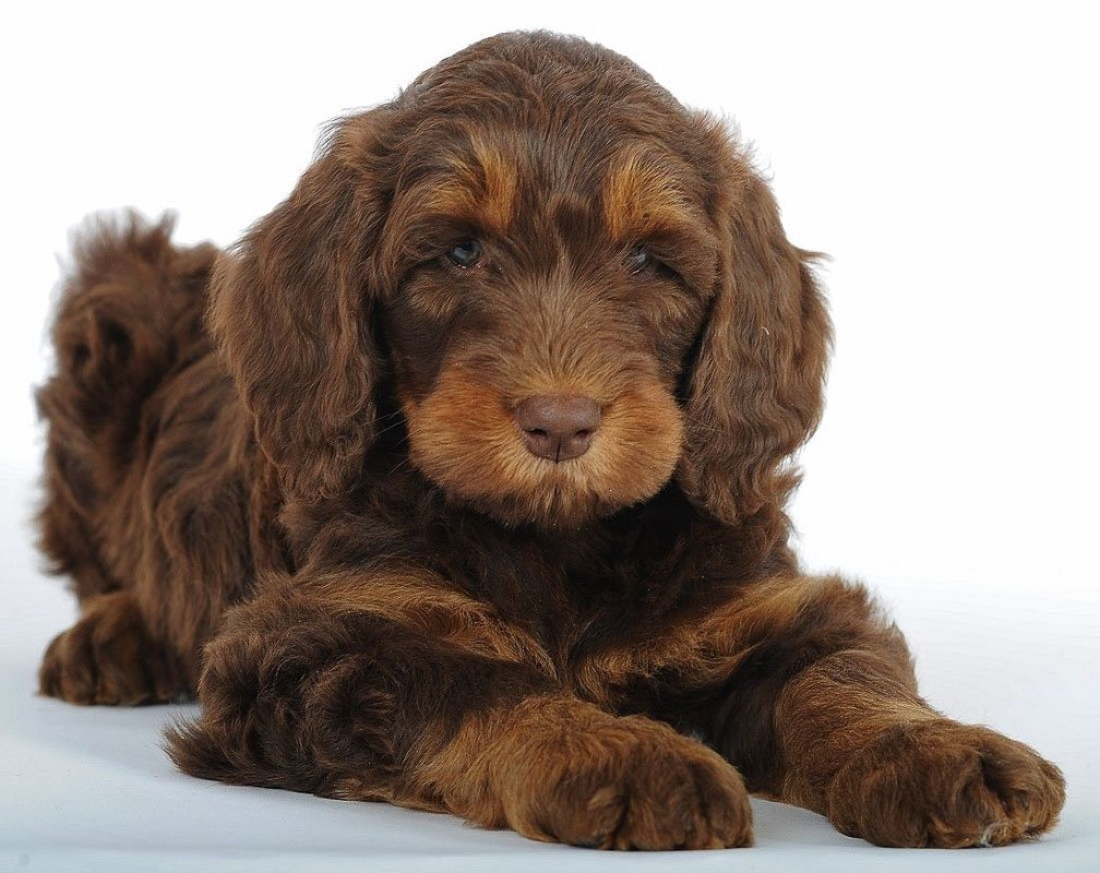 6 Things You Need to Know About the Golden Mountain Doodle