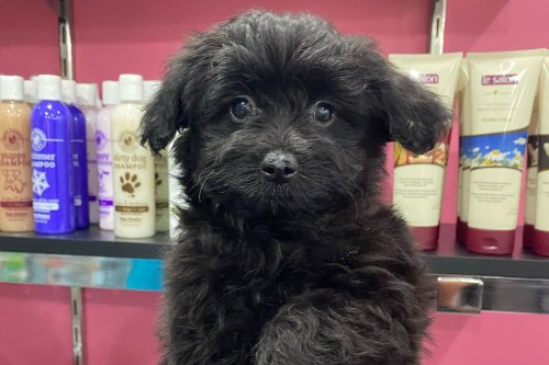 13 Things to Know About The Cute Pomapoo Breed