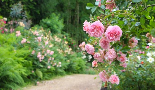 How to look after roses in summer