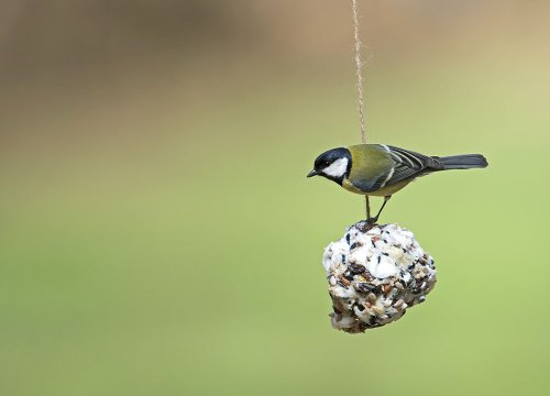 Great tit: June 2021 bird of the month