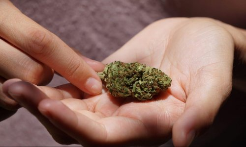 What Are Skunk, Haze, And Kush Cannabis Strains? - The Fresh Toast