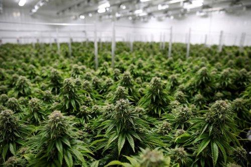 Canadian cannabis executives earn millions as companies burn cash