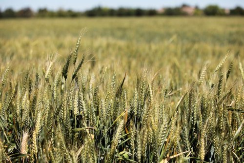 U.S. wheat exporters losing ground as Mexico turns to Russia, other suppliers because of Trump's trade war