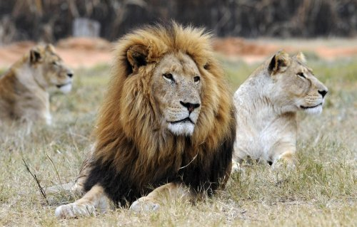 South Africa approves ban on captive-bred lion industry