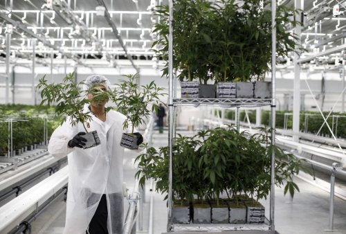 Cannabis companies face more job losses and facility closures, analysts predict