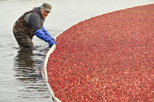 It's harvest season at the cranberry capital of Canada