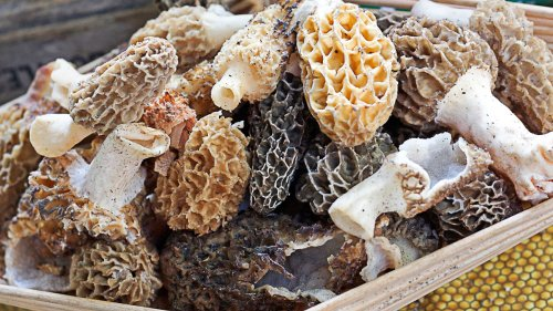 Our Top Tips For Growing Morel Mushrooms At Home