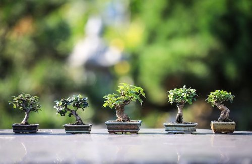 Best Bonsai Tree Growing Kits For Home Growers