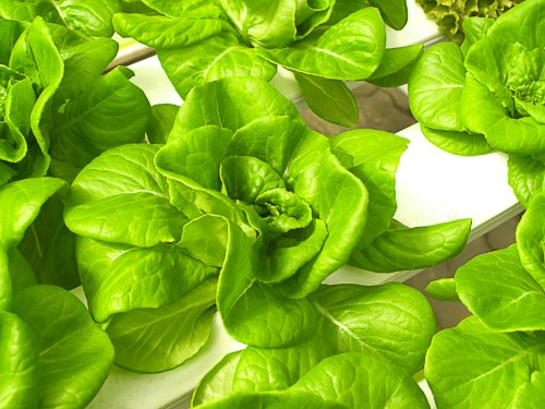 How To Grow Hydroponic Herbs At Home - DIY And Kits