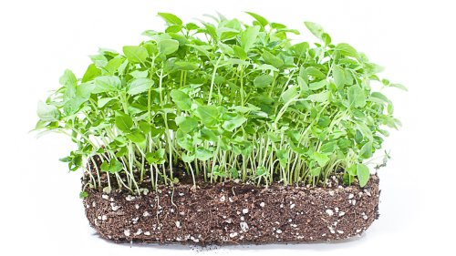 5 Easy Tips For Growing Broccoli Microgreens At Home