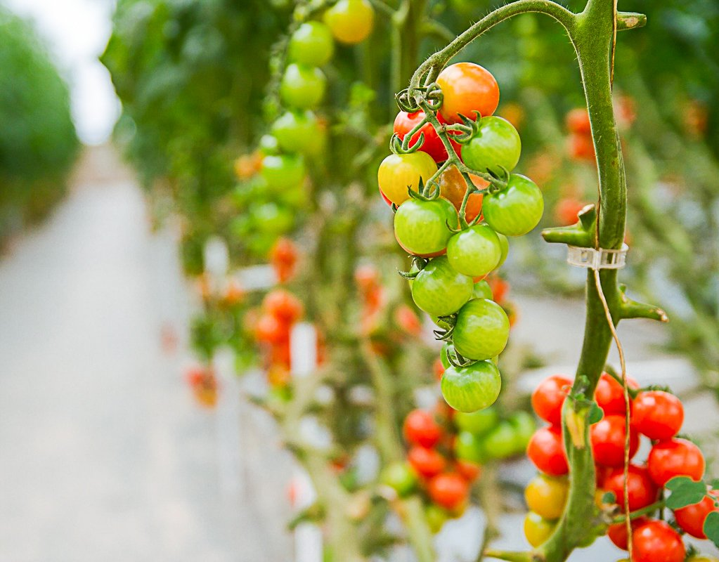 The Best Tomato Growing Kits For Home Gardeners