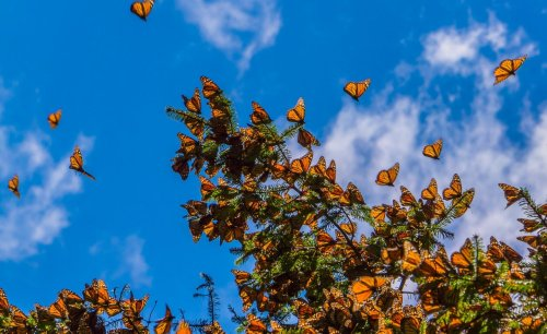Scientists race to rescue Western monarch butterflies with 99 percent of species wiped out